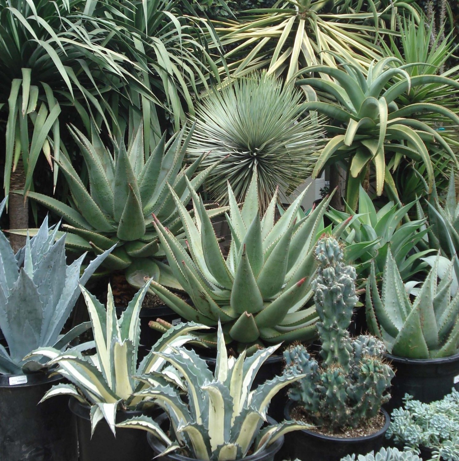 10 Agave mix seeds *Easy grow * Care free * succulent *SHIPPING FROM US* CombSH C34