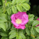 25 + pink rugosa rose seeds ( Rosa rugosa pink ) Hardy, Fast, Fragrant I78