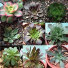 Aeonium Mix 50 SEEDS  * Exotic Cute Rare succulent * *SHIPPING FROM US* CombSH C81