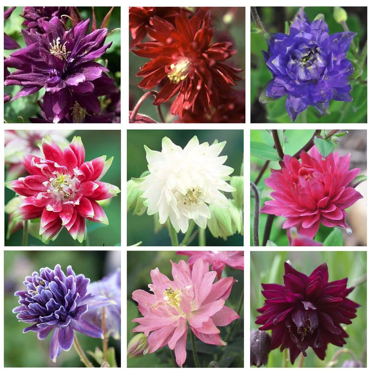 Columbine tall double mix 100 seeds Aquilegia vulgaris *Gardening *SHIPPING FROM US* CombSH A76
