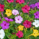 Four O'clock 50 seeds Formula Mix * Fragrant * Easy grow * Ornamental *SHIPPING FROM US* CombSH F12
