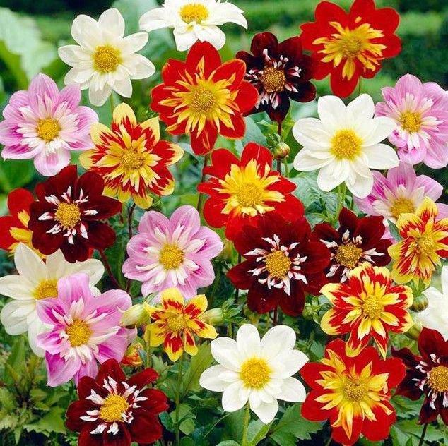 Dahlia Dandy Mix 25 seeds * Cut Flower * Easy grow * *SHIPPING FROM US* CombSH B11