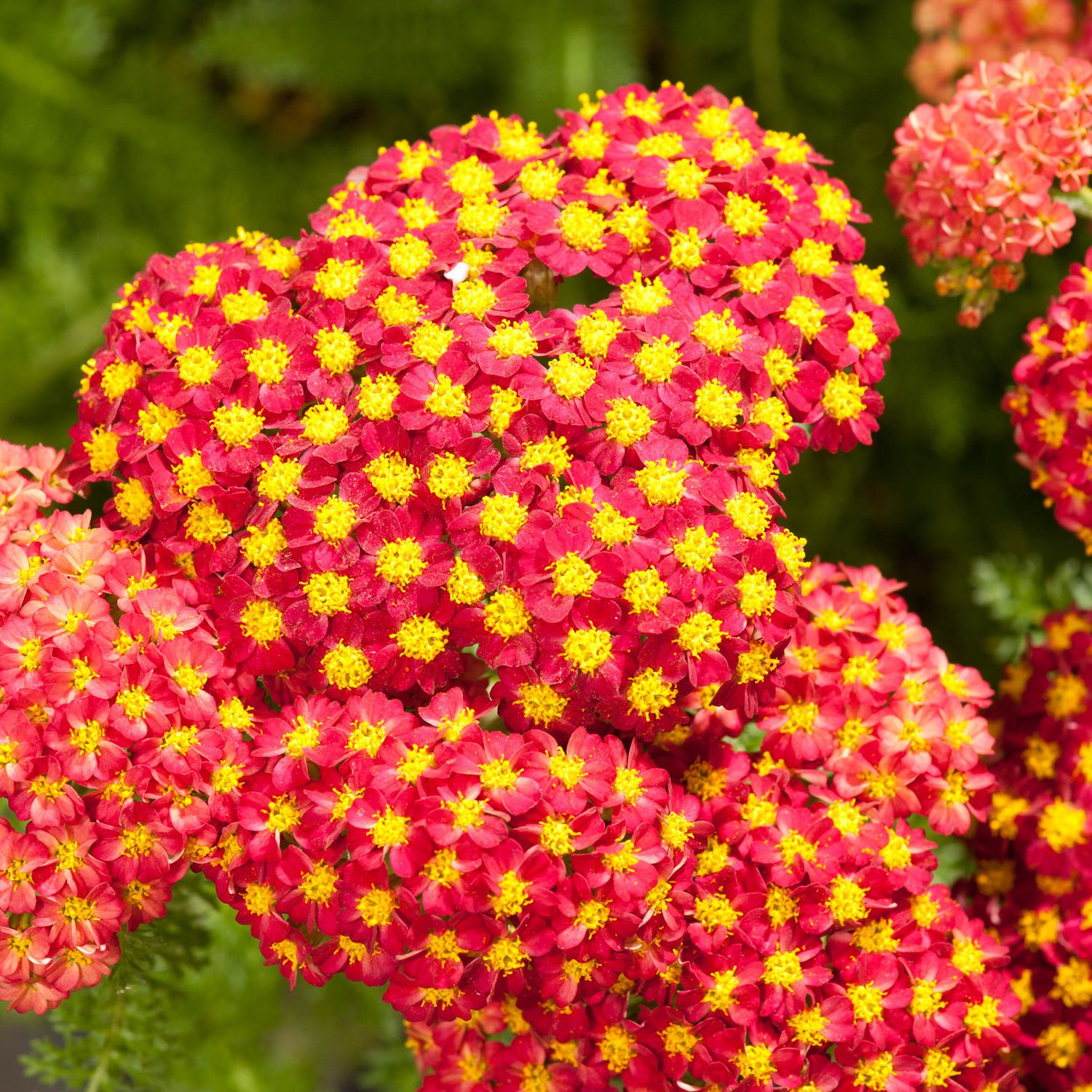 Red yarrow Achillea millefolium 1000 seeds *Herb* Medical *SHIPPING FROM US* CombSH A82