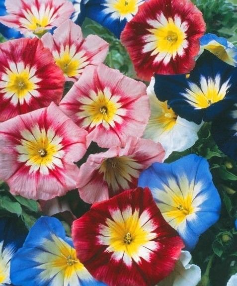 Morning Glory Ensign Mix 50 seeds  * Easy Grow * Gorgeous *SHIPPING FROM US* CombSH D23
