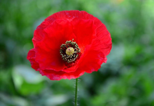 1000 Red Corn Poppy Flower seeds Papaver rhoeas  Poppy seed CombSH A53