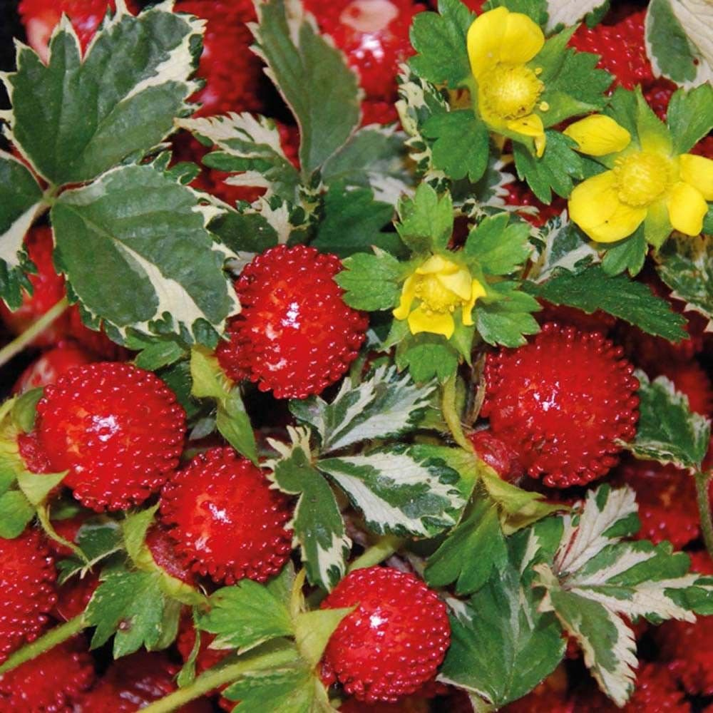 Indian Strawberry 50 seeds Potentilla indicai Exotic * Rare *  *SHIPPING FROM US* CombSH I61