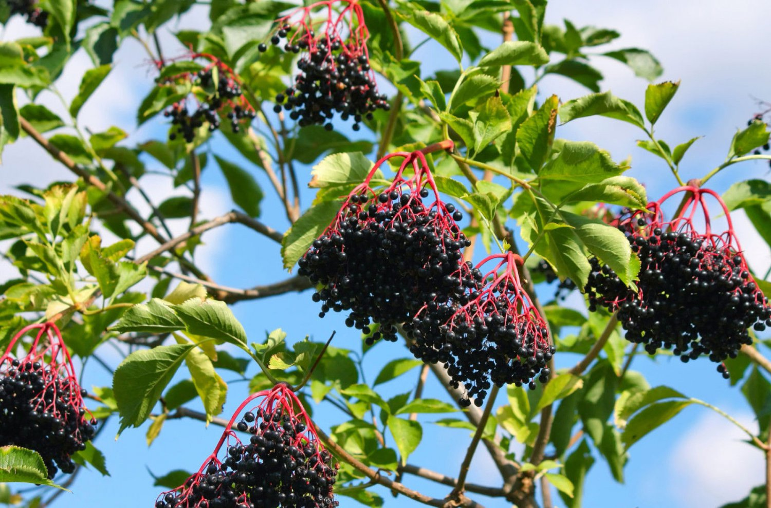 50 Elderberry seeds (Sambucus canadensis c.s.) Fast Edible showy Tree *SHIPPING FROM US* CombSH