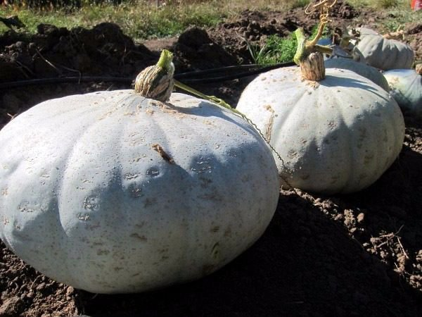 Winter Squash Sweet Meat  25 seeds * Heirloom * Non GMO * *SHIPPING FROM US* CombSH K16
