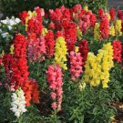 Snapdragon Tetra Mix Antirrhinum majus 250 seeds *SHIPPING FROM US* CombSH B37