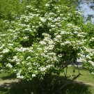 25 + wayfaring tree seeds (Viburnum lantana ) Ornamental Shrub I76