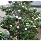 5 Southern Magnolia seeds Magnolia grandiflora * Fragrant * Evergreen *SHIPPING FROM US* CombSH M54