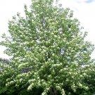 30 European Mountain ash seeds Sorbus aucuparia,Rowan Ornamental Tree *SHIPPING FROM US* CombSH