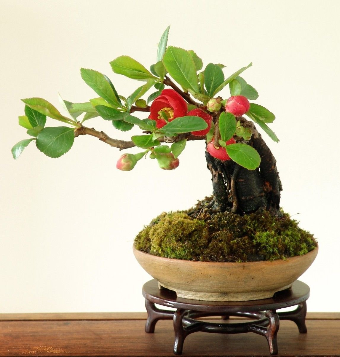 Japanese Quince 10 seeds * Bonsai * Ornamental *Low maintenance* *SHIPPING FROM US* CombSH A78