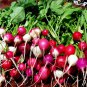 Easter egg radish mix 500 seeds * Harvest in 30 days* NON GMO *Heirloom* *SHIPPING FROM US* CombSH