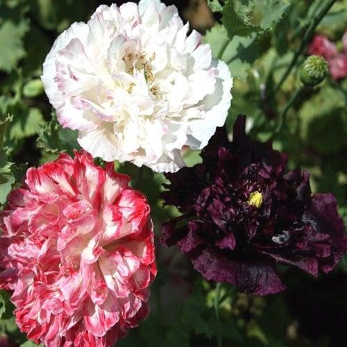 Peony Poppy Antique Shade Mix 500 seeds * cottage garden * Elegant * *SHIPPING FROM US* CombSH B68