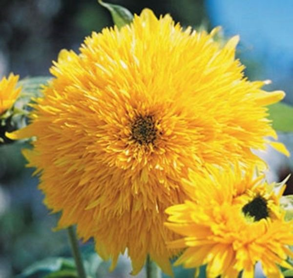 Sun Flower Tall Teddy Bear Sungold  50 seeds * Eye catching* Cut Flower * *SHIPPING FROM US* CombSH