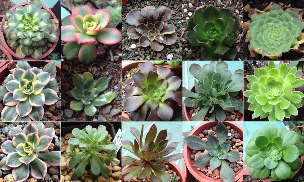 Aeonium Mix 10 SEEDS  * Exotic Cute Rare succulent * *SHIPPING FROM US* CombSH C81