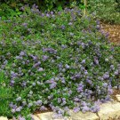 15 + Squaw Carpet seeds (Ceanothus prostratus)Groundcover Plant *SHIPPING FROM US* CombSH