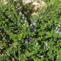 15 + Squaw Carpet seeds �Ceanothus prostratus�Groundcover Plant *SHIPPING FROM US* CombSH
