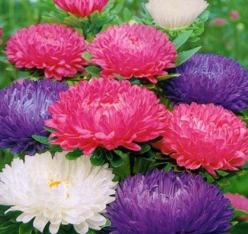 250 Aster Crego Mix �Callistephus chinensis� seeds  Garden Flower CombSH D55
