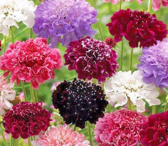 Pincushion Flower Mix 100 seeds Scabiosa Atropurpurea *Cure itching* *SHIPPING FROM US* CombSH L31