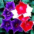 Morning Glory - Kikyo Zaki mix 5 seeds  * Easy Grow * Rare * Gorgeous *SHIPPING FROM US* CombSH D18