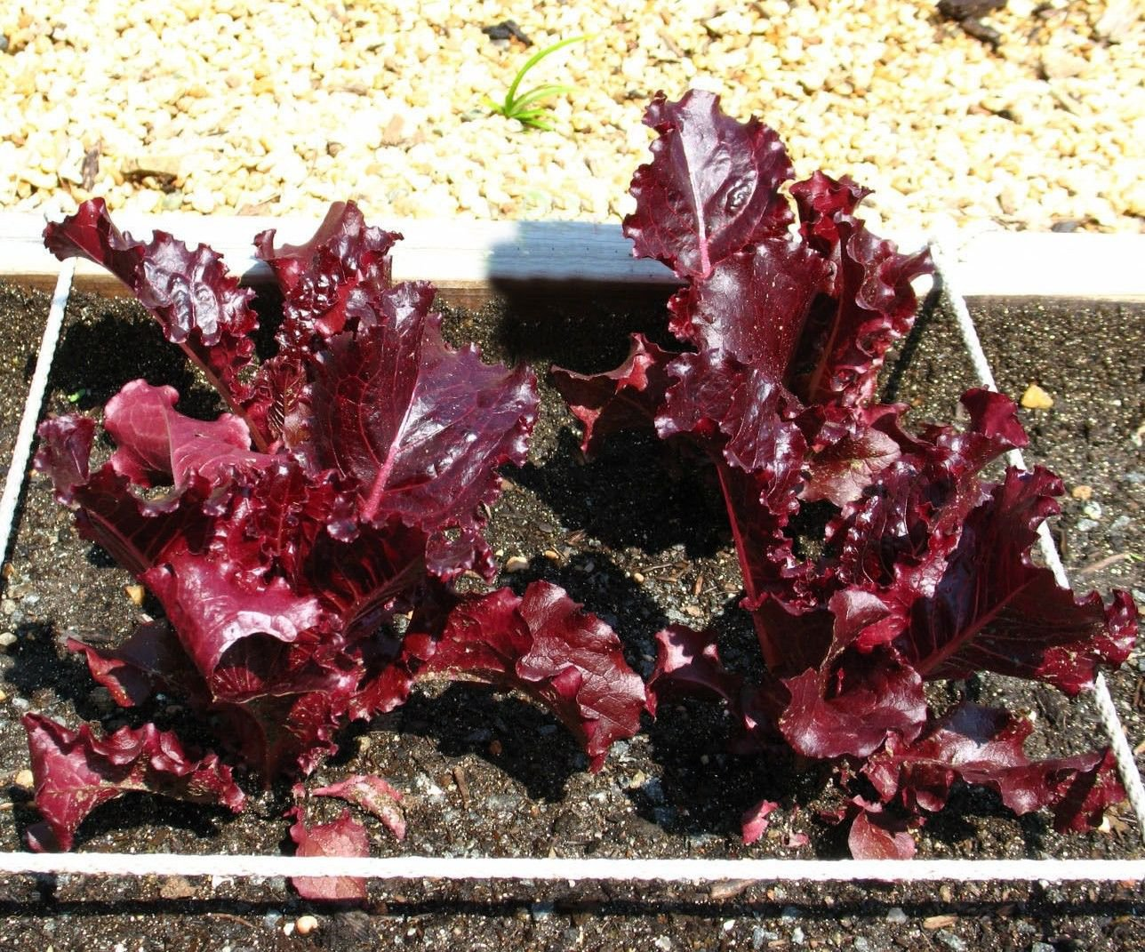 Super Red Romaine Lettuce 2500 seeds Lactuca sativa * NON GMO * ez grow * *SHIPPING FROM US* CombSH