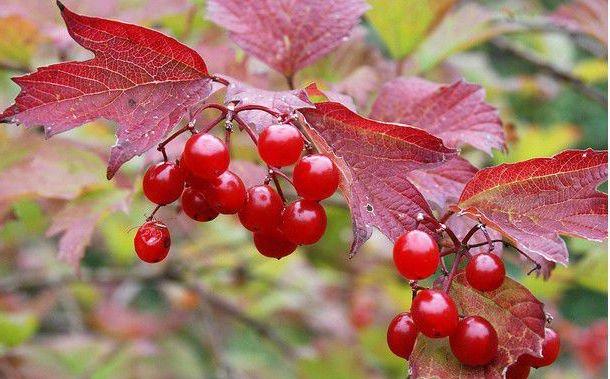 10+ American cranberrybush seeds (Viburnum trilobum) Ornamental Shrub *SHIPPING FROM US* CombSH I87