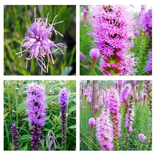 150 Purple Marsh Blazing Star Gayfeather seeds Liatris spicata Flower CombSH L33