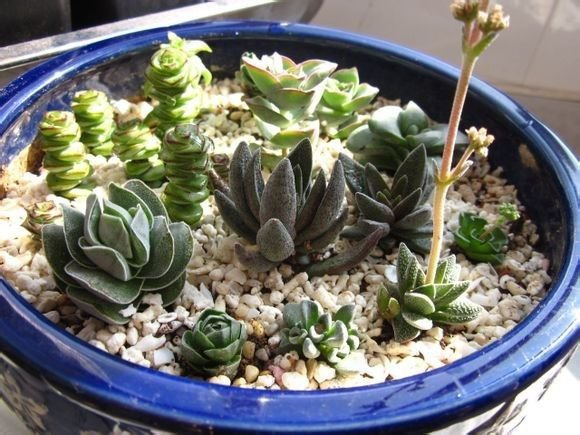 Crassula Mix 10 SEEDS  * Exotic Cute Rare succulent *  *SHIPPING FROM US* CombSH C42