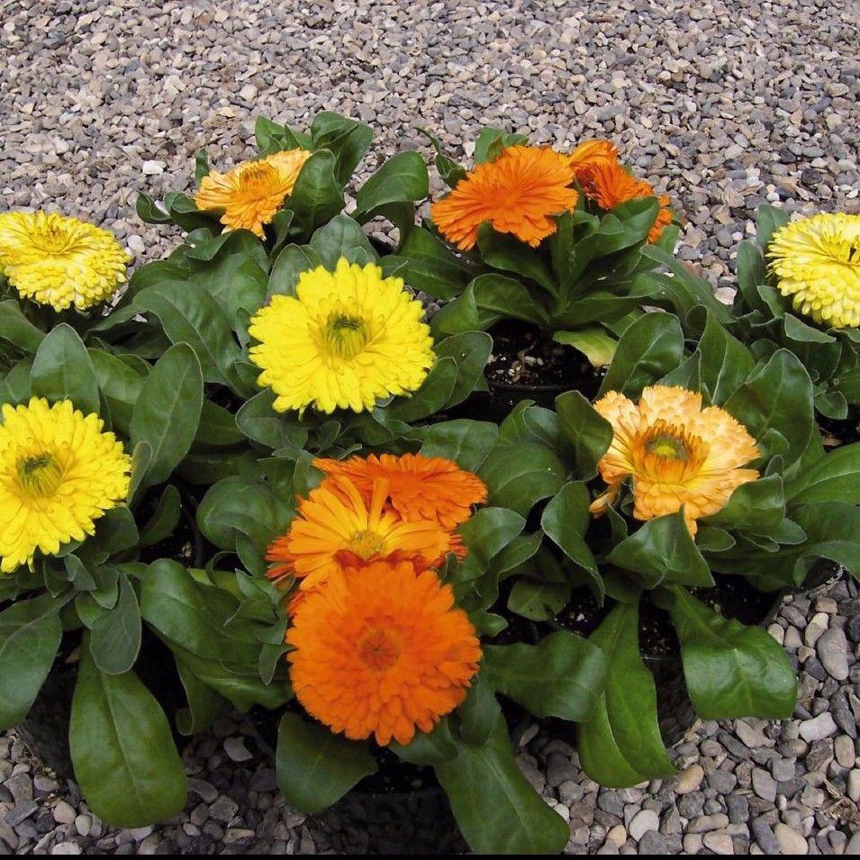 Calendula Gem Mix Dwarf 50 seeds *Herbal tea* Cut flower * Showy *SHIPPING FROM US* CombSH D48