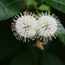 50 + Button Bush / HONEYB (Cephalanthus occidentalis) seeds Ornamental Shrub I75