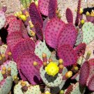 Opuntia violacea v. Santa rita 10 seeds * edible * Purple cactus * *SHIPPING FROM US* CombSH C52