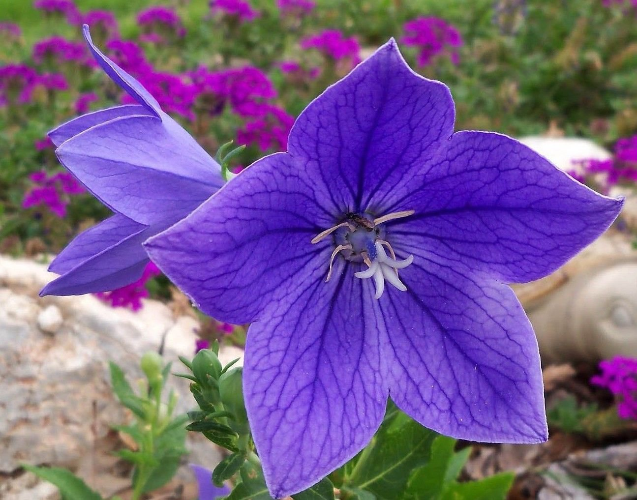 50 Blue Balloon Flower Platycodon grandiflorus Herb / Garden Flower *SHIPPING FROM US* CombSH D26