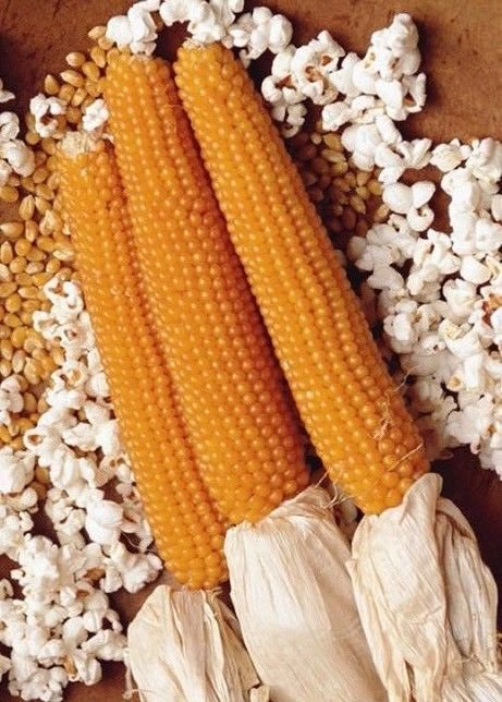 Lady Finger Popcorn 50 seeds * Ornamental * Strong flavor * *SHIPPING FROM US* CombSH H13