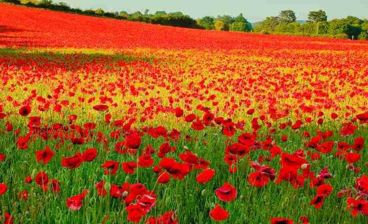 500 thru 10k Red Corn Poppy Flower seeds Papaver rhoeas  Poppy seed CombSH A53