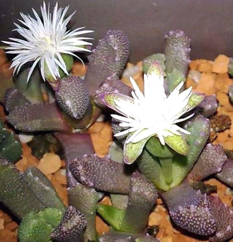 Stomatium-alboroseum 10 seeds * Succulent * *SHIPPING FROM US* CombSH  C13