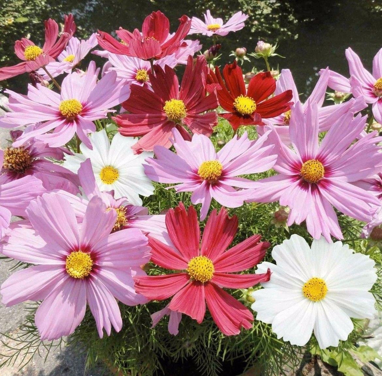Garden Cosmos Mix 250 seeds * Easy grow * border * garden *SHIPPING FROM US* CombSH I28