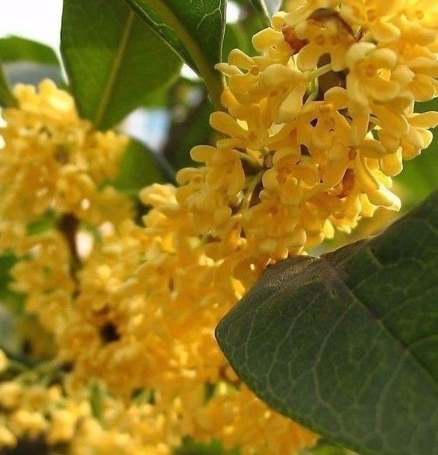 Golden Sweet Olive - Osmanthus fragrans 5 seeds fragrant *SHIPPING FROM US* CombSH K31