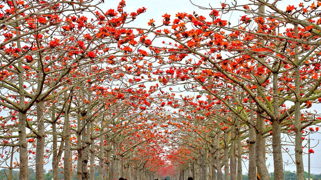 5 red cotton tree seeds  Bombax ceiba  Fast , showy Tree *SHIPPING FROM US* CombSH M43