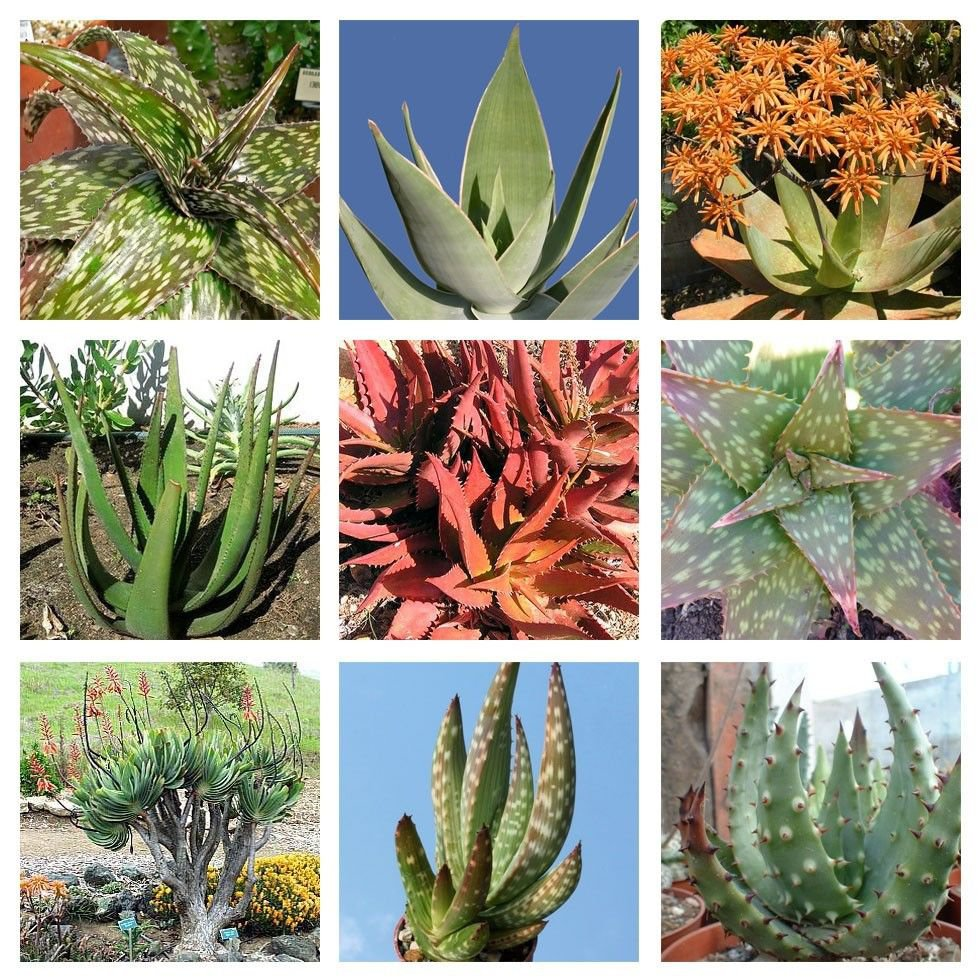 10 Aloe mixed  seeds * Easy grow * Exotic * succulents  *SHIPPING FROM US* CombSH C22