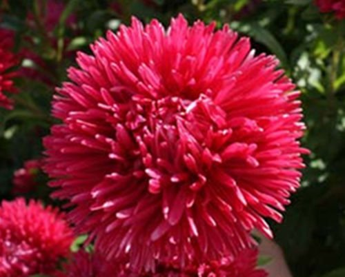 Aster seeds�Tall Double Gremlin Red 50 seeds *Cut flower*Gorgeous* *SHIPPING FROM US* CombSH D58
