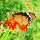 100 +  BloodFlower / Tropical Milkweed (Asclepias curassavica) seeds *SHIPPING FROM US* CombSH I47