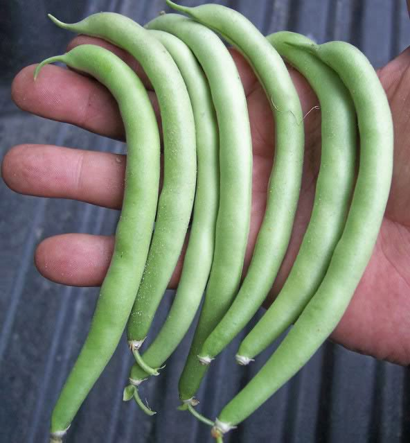 Provider Bush bean 50 seeds * Heirloom * Non GMO * *SHIPPING FROM US* CombSH K35