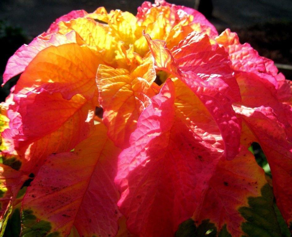 Amaranthus Illumination 100 seeds * Stunning Color * Eye catching *  E58
