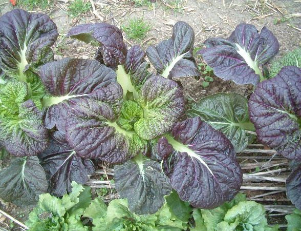 Mustard Red Giant 2000 seeds  Brassica juncea  Vegetable  ez grow *SHIPPING FROM US* CombSH L11