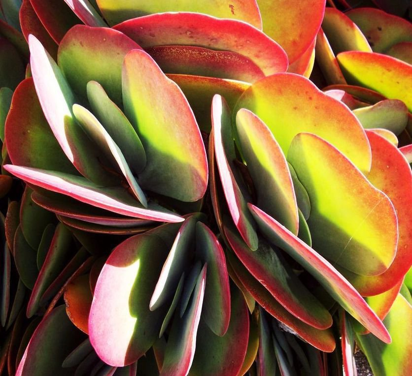 Kalanchoe thyrsiflora 10  seeds * Exotic * succulents * Showy *  *SHIPPING FROM US* CombSH C43