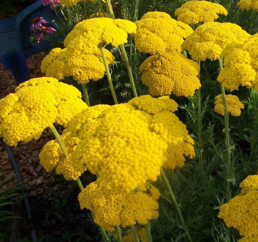 Gold yarrow Achillea Filipendulina 1000 seeds *Cottage gardens* *SHIPPING FROM US* CombSH A68
