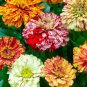 Zinnia Candy Stripe Mix 1,000 seeds * Unusual Color * Cut Flower * *SHIPPING FROM US* CombSH D34