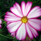100 + Cosmos candy stripe (Cosmos Bipinnatus)seeds  garden flower *SHIPPING FROM US* CombSH I58